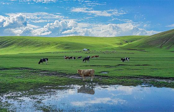 内蒙古伊利奶牛养殖基地